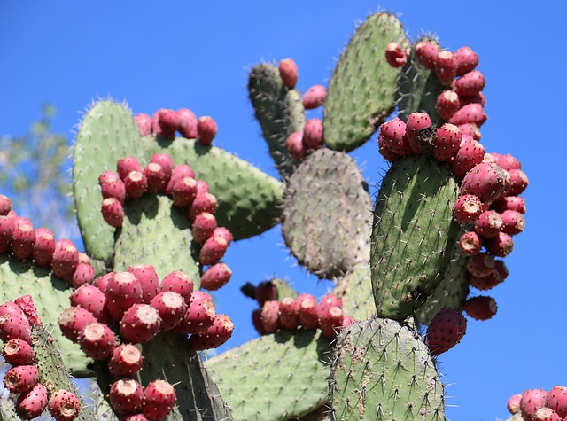 Benefits of Nopal cactus in Weight Loss